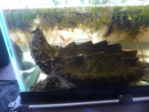Alligator Snapping Turtle in his old Tank