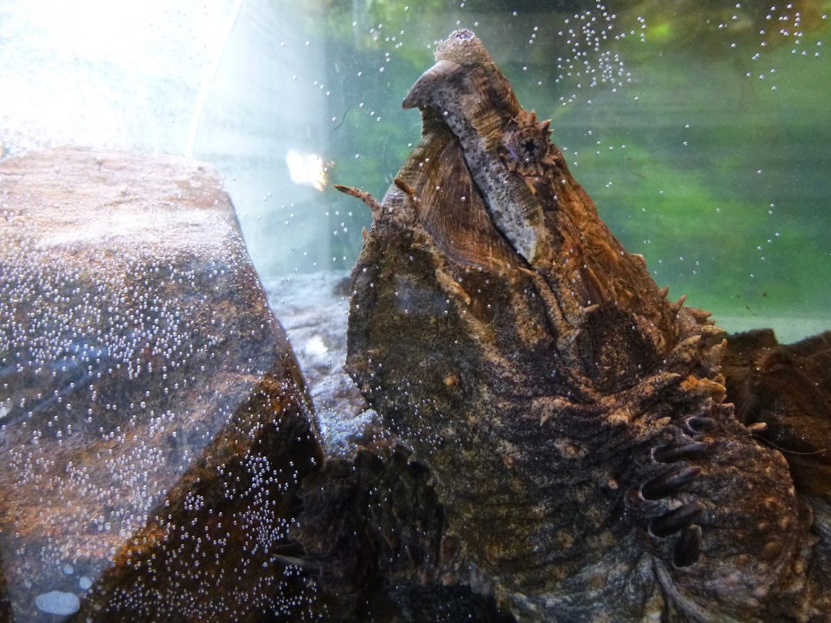 Title 1200x900 - <h1>Alligator Snapping Turtle Tank</h1> Adam Sutton